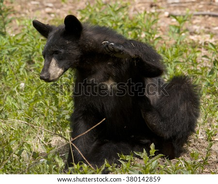 Itchy 3 --  A black bear cub strikes a cute pose as it scratches a bothersome itch. - stock photo