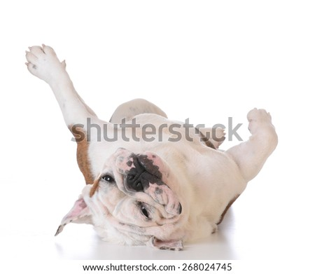 itchy dog - bulldog laying upside down looking at viewer on white background - stock photo