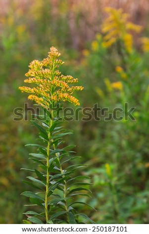 Its top ablaze with buds of gold, a solitary goldenrod stands out in a prairie of green and yellow solidago. - stock photo