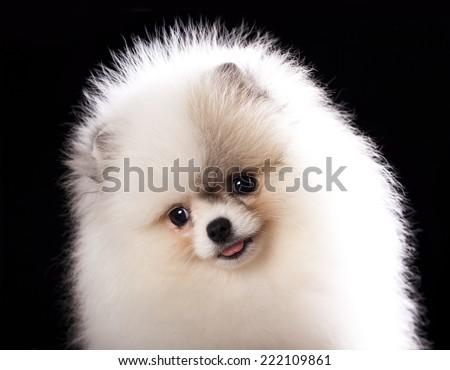ittle spitz puppy closeup - stock photo
