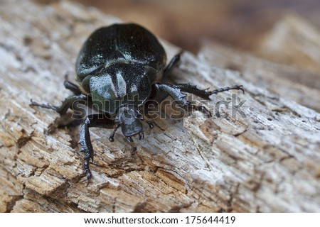 IUCN Red List and EU Habitats Directive specie Hermit beetle Osmoderma eremita (sin. O. barnabita) on rotten wood. Dweller of old hollow trees in park type landscapes. Black beetle. - stock photo