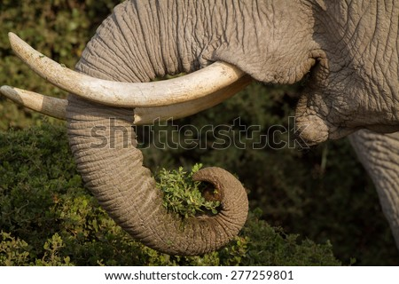 Ivory elephant tusks - stock photo