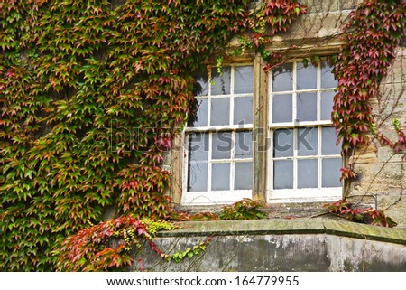 Ivy and window, ST Andrews, Scotland. UK. - stock photo