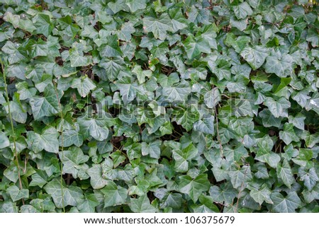 Ivy Background / Texture - stock photo
