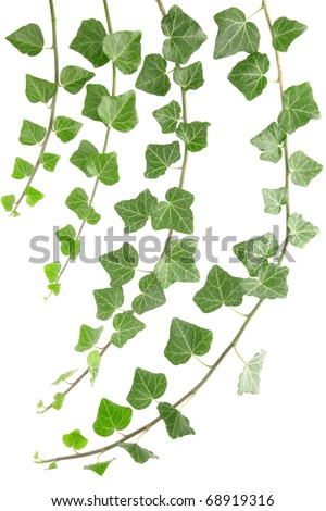 Ivy branches set isolated on white background - stock photo