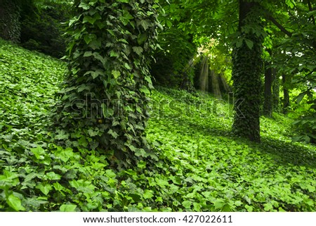 ivy covered trees in old forest - stock photo