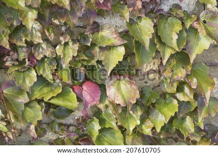 Ivy Creeping Up The Wall