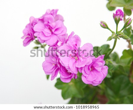 Ivy geranium with pink flowers