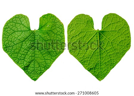Ivy Gourd Leaf on white background (Front and Back) - stock photo