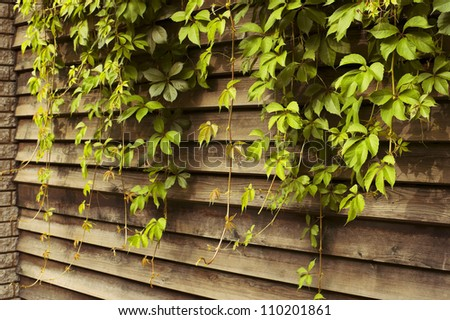 Ivy green lianas over the fence - stock photo