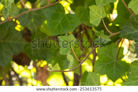 Ivy growing, bright sunlit background - stock photo