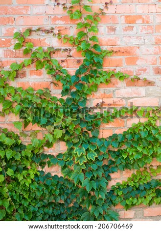 Ivy growing on a brick wall - stock photo