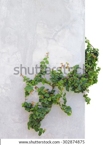ivy isolated on background concrete wall - stock photo