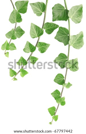 Ivy isolated on white - stock photo