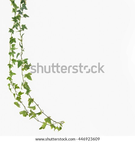 ivy leaf - stock photo