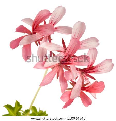 Ivy-leaf geranium (Pelargonium peltatum) isolated on white background - stock photo
