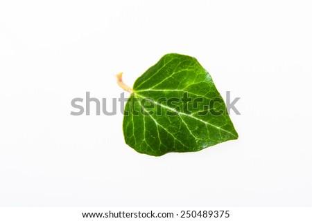 Ivy leaf. isolated - stock photo
