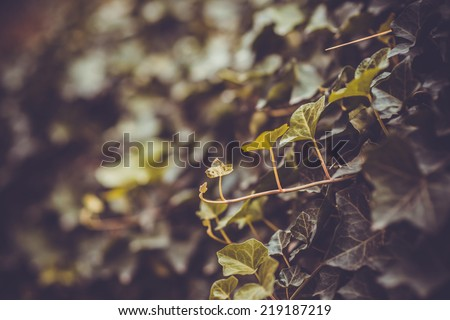 Ivy leafs close-up. Toned picture - stock photo