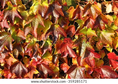 Ivy leaves changing color to yellow, russet and red in Autumn forms a natural background of color and texture. - stock photo