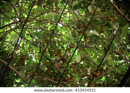 ivy leaves. green wall . Colorful ivy leaves in Summer - stock photo
