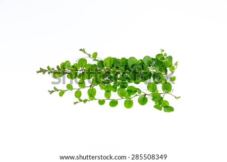 ivy leaves isolated on a white background,ivy,isolated - stock photo