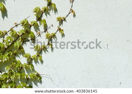 ivy leaves on a white background - stock photo