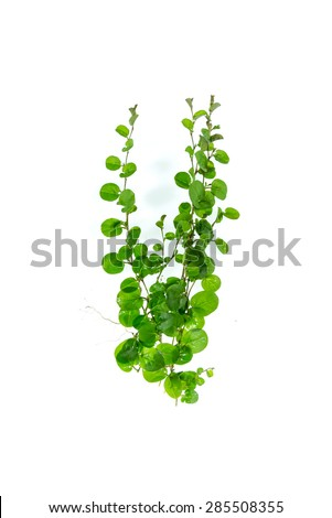 ivy on a white background - stock photo