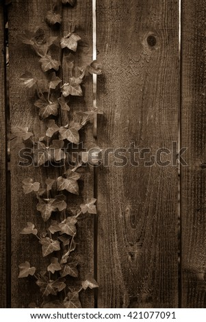 Ivy on a wooden fence