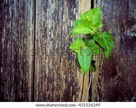 ivy on an old plank - stock photo