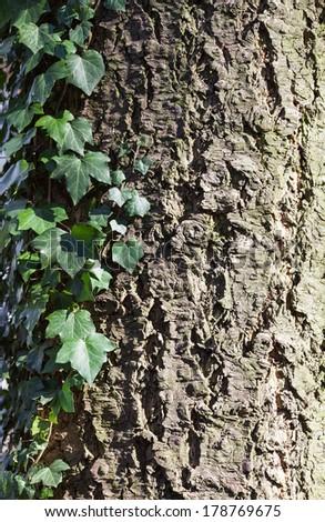 ivy on bark  - stock photo