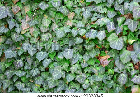 Ivy on wall background - stock photo