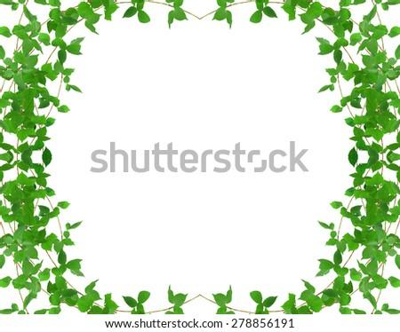 ivy plant - stock photo