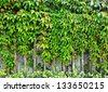 ivy plant on wall - stock photo