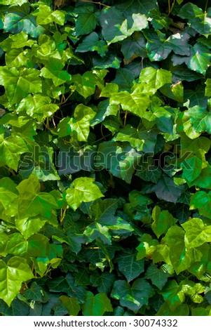 Ivy texture - stock photo