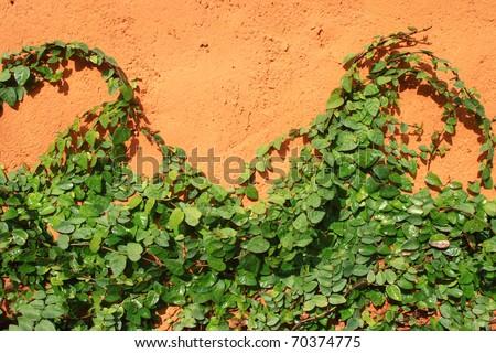 Ivy under the walls orange - stock photo
