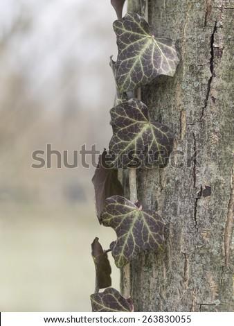 Ivy vine plant on tree - stock photo