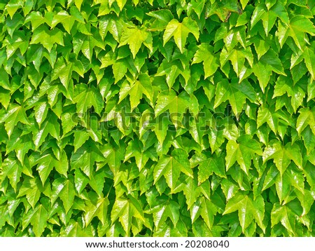 Ivyberry - green wall background - stock photo