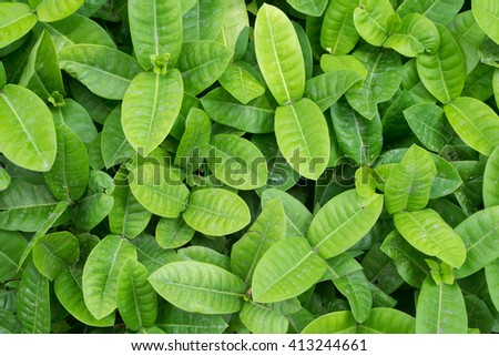 Ixora's healthy green leaves - Background