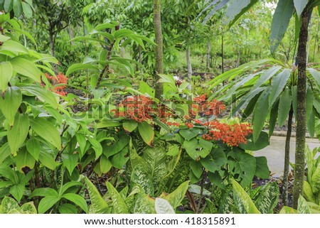Ixora, small red flowers, closed young inflorescence at spring in Singapore