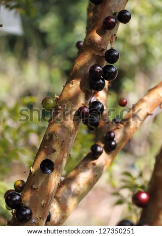 Jabuticaba, Myrciaria Cauliflora � tropical fruit.  Native to Brazil, Argentina, Paraguay, and Bolivia. - stock photo