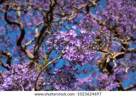 Jacaranda Tree Sydney Australia Stock Photo Edit Now Shutterstock