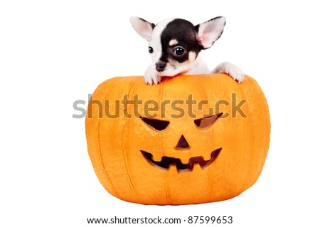 Jack O' Lantern Pumpkin Puppy: chihuahua puppy on orange, Halloween, ceramic, pumpkin basket. White background.
