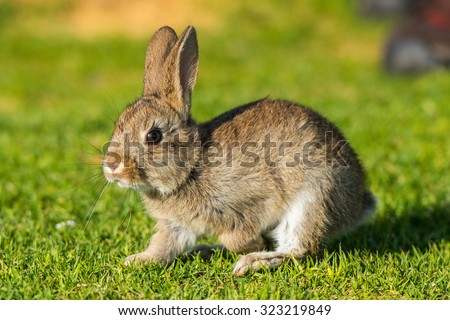 Jack rabbit hare while looking at you on grass background - stock photo