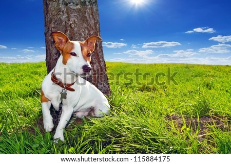 Jack Russel and sun - stock photo