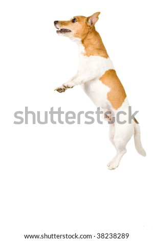 jack russel is jumping high isolated on white - stock photo