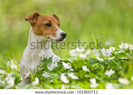 jack russel on spring forest - stock photo
