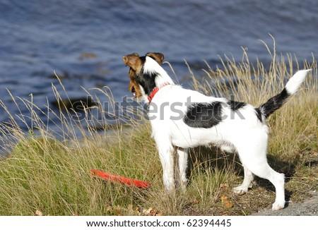 Jack Russel portrait on sea coast - stock photo