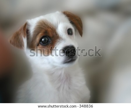 Jack Russel puppy - stock photo