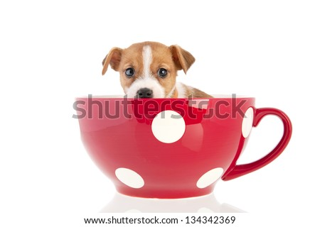 Jack Russel puppy dog in big red cup isolated over white background - stock photo