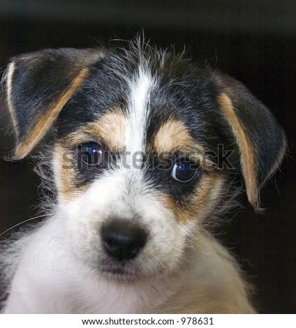 Jack Russel Terrier - stock photo